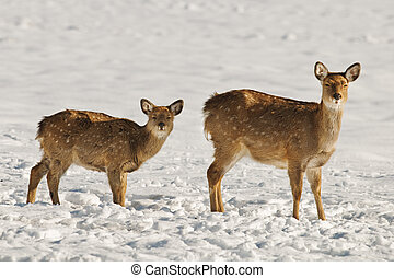 deer - female deer with her fawn