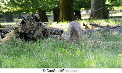 Female deers eating grass - Female deers grazing and looking...