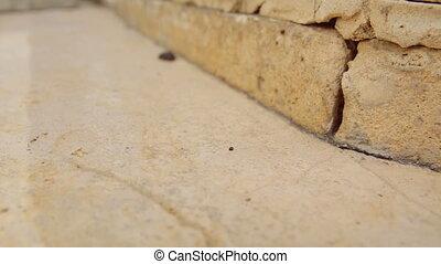 Female desert sand cockroach aka Arenivaga africana moving fast on pavement - slow motion.