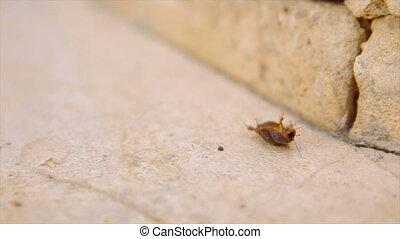 Female desert sand cockroach aka Arenivaga africana on its back.