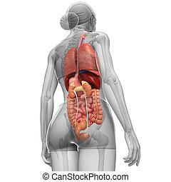 Female digestive system artwork