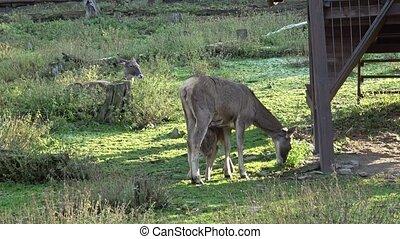 Female doe roe deer species. Wild deer animal.