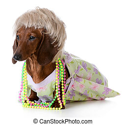 female dog - miniature dachshund wearing wig and clothing on...