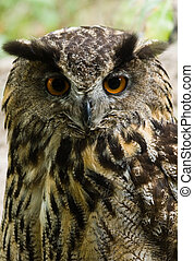 Female eagle owl - vertical image