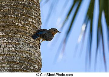 Female eastern bluebird Sialia sialis perches on the trunk ...