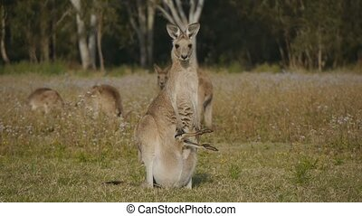 Female Eastern Grey Kangaroo with Joey in pouch