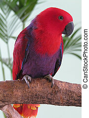 Female Eclectus Parrot - A female eclectus parrot