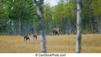 Female elk mother with two young moose calfs walks in forest