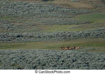 Female Elk Run Across Hayden Valley in Yellowstone National Park