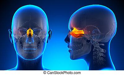 Female Ethmoid Skull Anatomy - blue concept