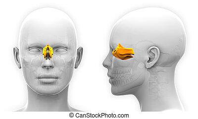 Female Ethmoid Skull Anatomy - isolated on white