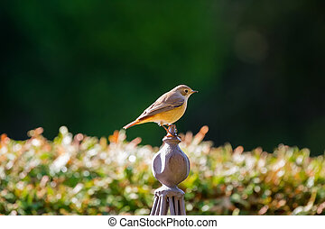Female European Black redstart bird perching on metal garden...