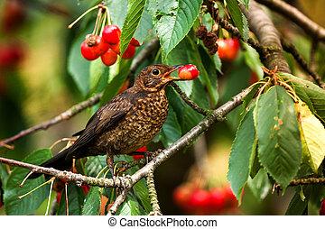 Female European Blackbird (Turdus merula) feeding on cherries. Wildlife photography.