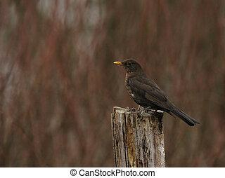 Female European Blackbird (Turdus merula) on a tree stump