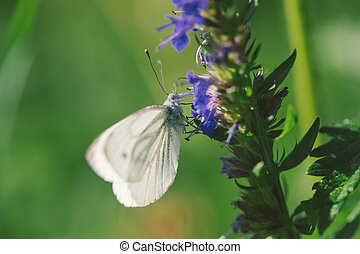 Female european large cabbage and white butterfly feeding on...