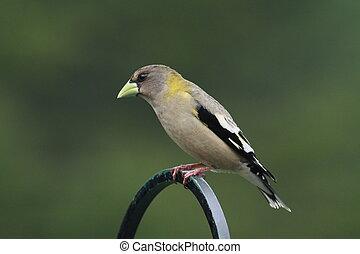 Female Evening Grosbeak perched on a pole
