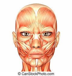 Illustration of the anatomy of the female face isolated on a white background