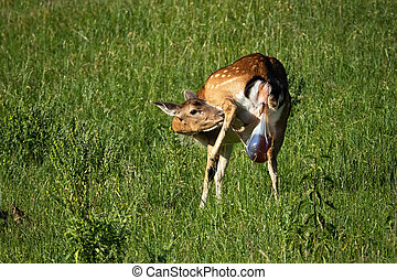 Female fallow deer giving birth with placenta coming out