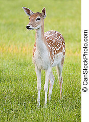 Fallow Deer, young female in evening light, watchful - vertical image