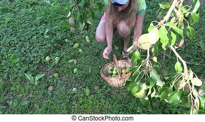 Female farm worker gathering windfall pears to wicker basket.