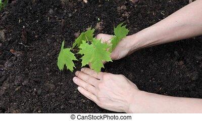 Female farmer hands gently plant a maple seedling in soil