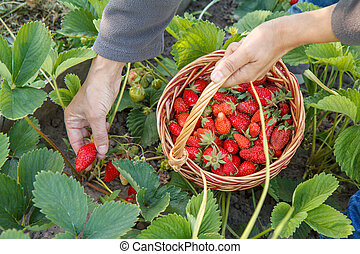 Female farmer is picking fresh red ripe strawberries on the bed and put them in wicker basket