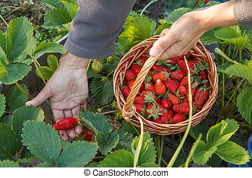 Female farmer is picking fresh red ripe strawberries on the bed and put them in wicker basket.