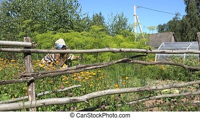 female farmer pick green natural dill plants in fenced...