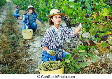 Female farmer picking harvest of green grapes in vineyard