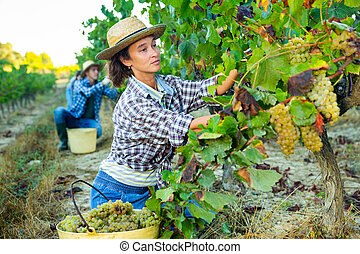 Female farmer picking harvest of green grapes in vineyard