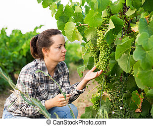 Female farmer working with grapes in vineyard at summertime