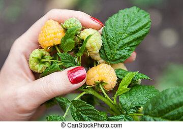 Female fingers holding large raspberry