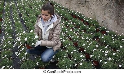 Female florist cultivating Argyranthemum percussion in greenhouse. High quality FullHD footage