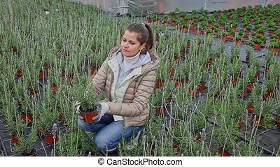 Female florist cultivating fragrant Spanish lavender in ...