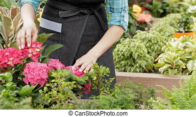 Female florist takes the flowerpot with geranium from shelf at the garden centre