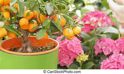 Female florist waters the mandarin tree at the garden centre