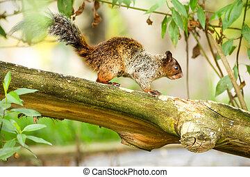 Female Fox Squirrel