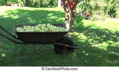 Female garden worker in shorts gathering windfall rotten...