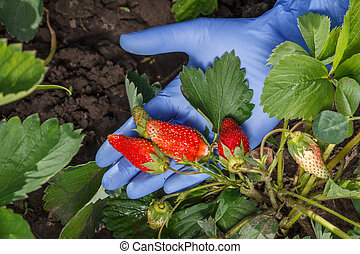 Female gardener is holding ripe strawberries in hand dressed in glove