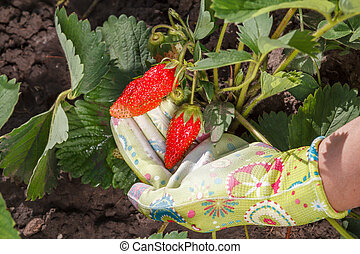 Female gardener is holding ripe strawberries in hand dressed in rubber glove.