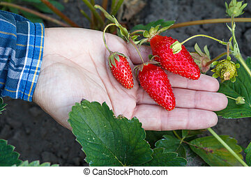 Female gardener is holding ripe strawberries in hand.