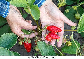 Female gardener is holding ripe strawberries in hand. Ripe and unripe strawberries in the garden.