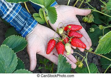 Female gardener is holding ripe strawberries in hands.