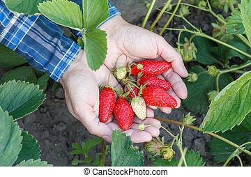 Female gardener is holding ripe strawberries on palms.