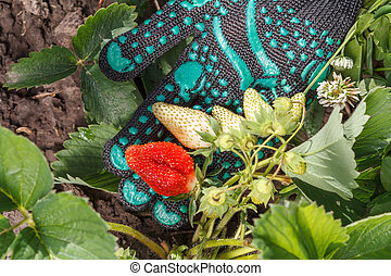 Female gardener is holding strawberries in hand dressed in black glove