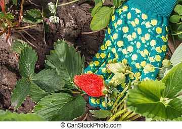 Female gardener is holding strawberries in hand dressed in glove. Ripe and unripe strawberries
