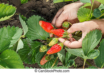Female gardener is holding strawberries in hands.