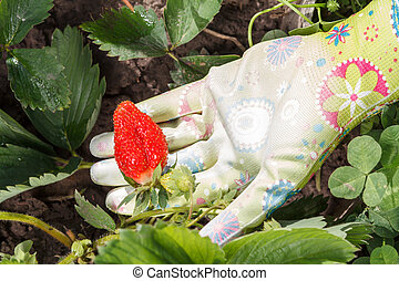 Female gardener is holding strawberry in hand dressed in rubber glove. Ripe and unripe strawberries.