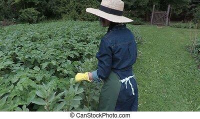 Female gardener near potatoes plants looking for beetles
