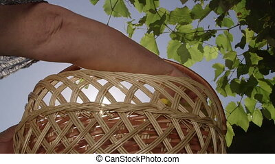 Female gardener placing bunches of home grown sultana white grapes in basket